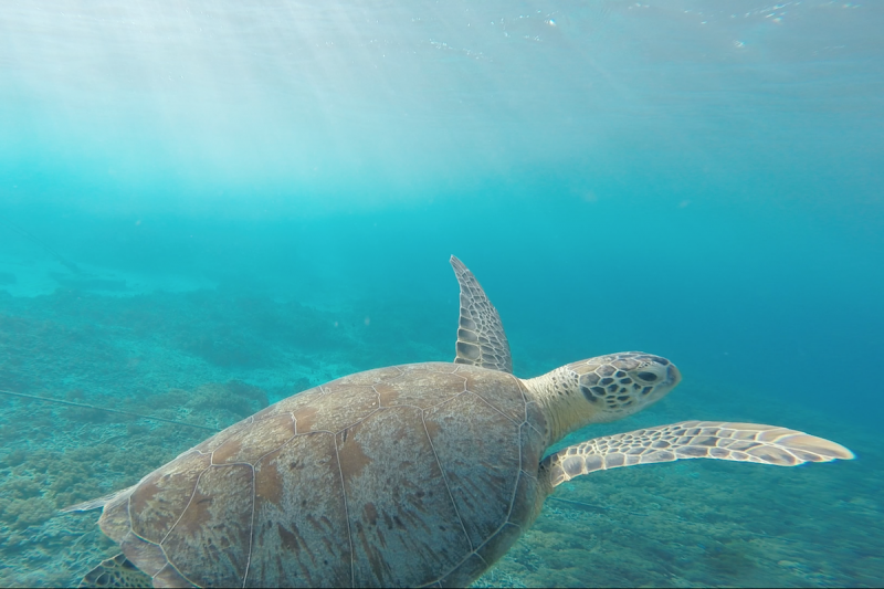 Sea Turtles Snorkeling in Costa Rica Attraction